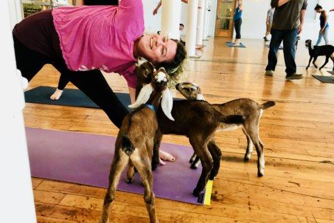 Caprine Vinyasa, aka baby goat yoga, is popular for a reason