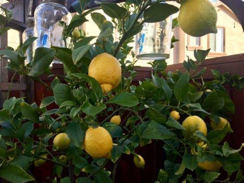 Lemons in Pati Poblete's garden
