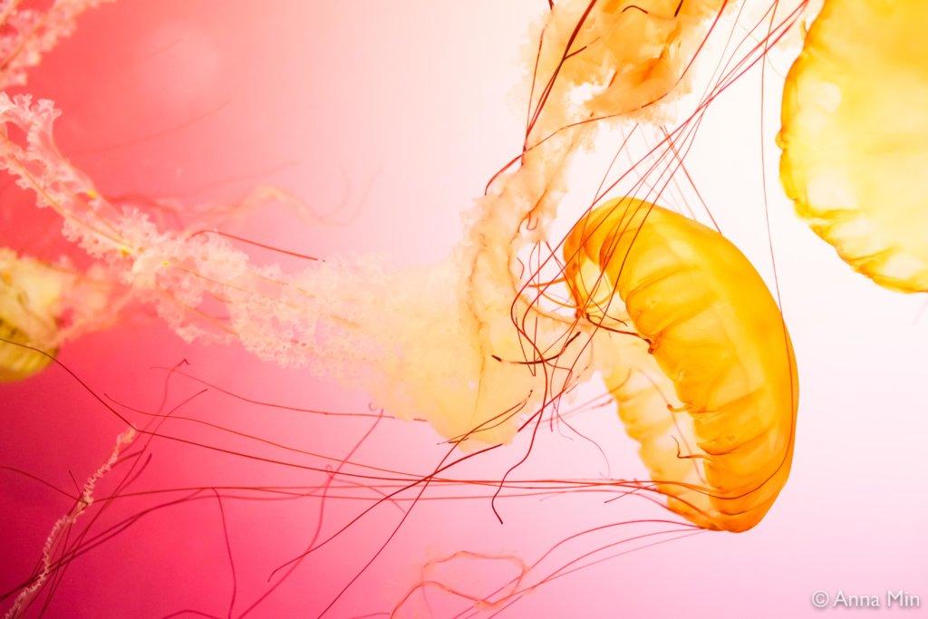 Anna Min jellyfish